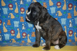 Boxer puppy for sale07