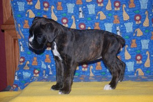 Boxer puppy for sale08