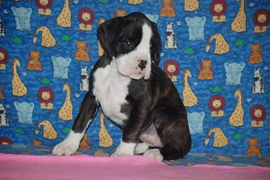 Boxer puppy for sale09