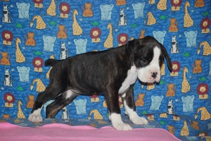 Boxer puppy for sale10