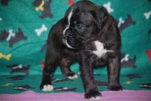 Female Boxer puppy 4 wks old03