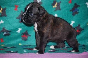 Female Boxer puppy 4 wks old04