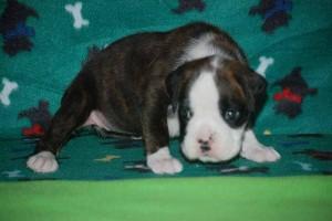 Female Boxer puppy 4 wks old05