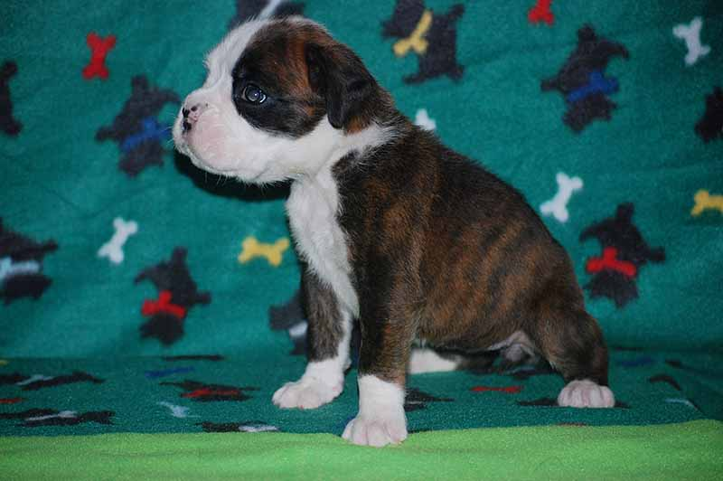 Female Boxer Puppies For Near Me - Pets Wallpapers