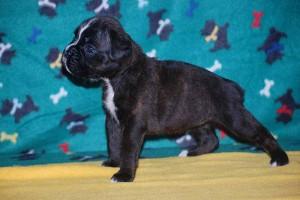 Female Boxer puppy 4 wks old08