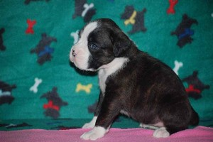 Female Boxer puppy 4 wks old09