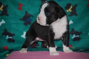 Female Boxer puppy 4 wks old10