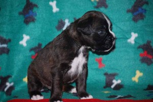 Male Boxer puppy 4 wks old02