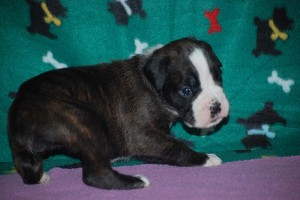 Boxer puppies for sale01