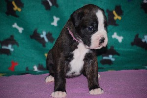 Boxer puppies for sale02