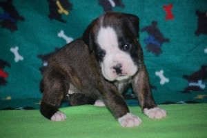 Boxer puppies for sale04