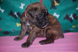 Boxer puppies for sale05