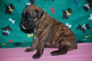 Boxer puppies for sale06
