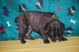 Boxer puppies for sale08