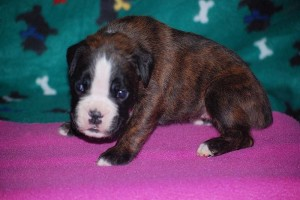 Boxer puppies for sale09