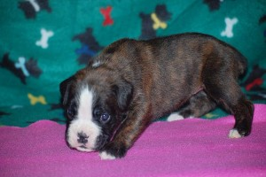 Boxer puppies for sale10