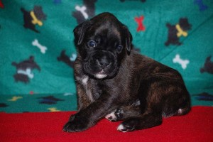 Boxer puppies for sale11