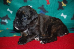 Boxer puppies for sale12