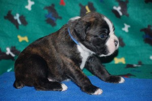 Boxer puppies for sale13