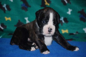 Boxer puppies for sale14