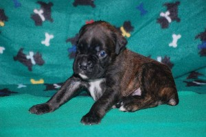 Boxer puppies for sale17