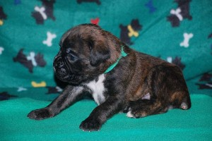 Boxer puppies for sale18
