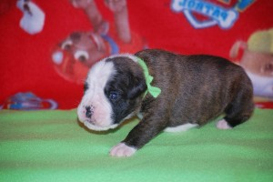 Boxer puppy 2 weeks11