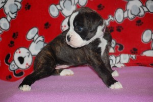 Boxer puppy 4 weeks09