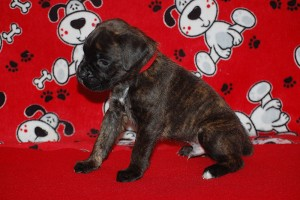 Boxer puppy 4 weeks01