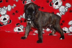 Boxer puppy 4 weeks02