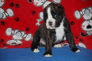 Boxer puppy 4 weeks03