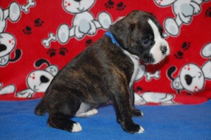 Boxer puppy 4 weeks04