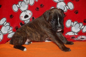 Boxer puppy 4 weeks05