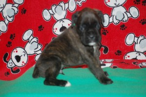 Boxer puppy 4 weeks07