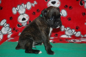 Boxer puppy 4 weeks08