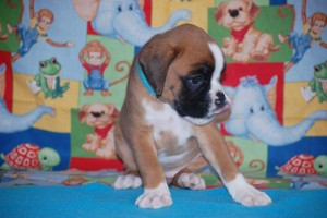 boxer-puppies-6-weeks01