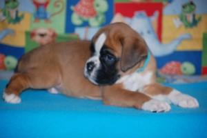boxer-puppies-6-weeks02