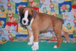 boxer-puppies-6-weeks03