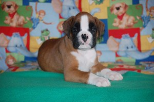 boxer-puppies-6-weeks04