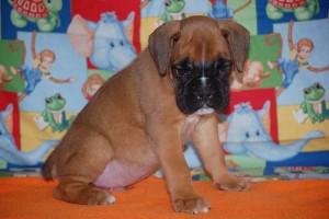 boxer-puppies-6-weeks05