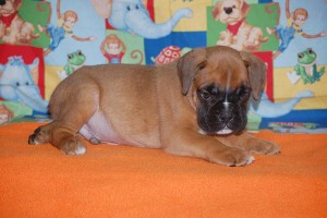 boxer-puppies-6-weeks06