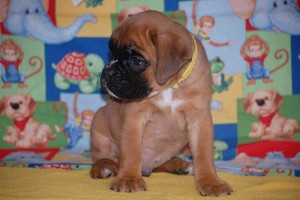 boxer-puppies-6-weeks08