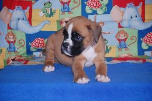 boxer-puppies-6-weeks09