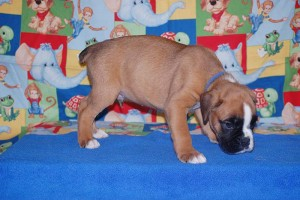 boxer-puppies-6-weeks10