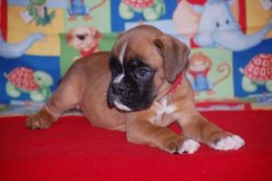 boxer-puppies-6-weeks11