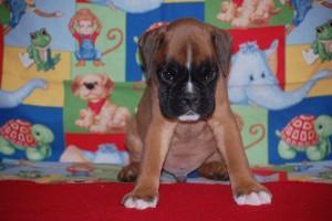 boxer-puppies-6-weeks12
