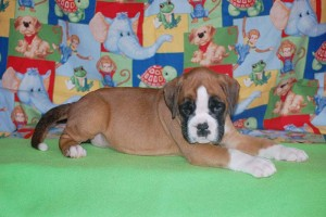 boxer-puppies-6-weeks16