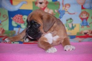 boxer-puppies-6-weeks17