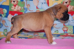 boxer-puppies-6-weeks18