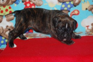 boxers for sale 4-weeks01